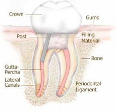 Tooth anatomy showing root canal treatment